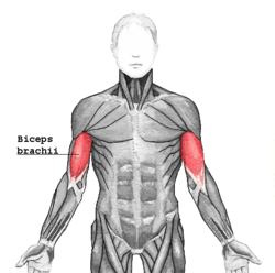 exercises for specific muscle groups