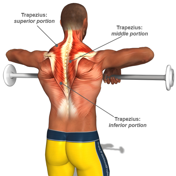 Information on the Trapezius Muscle   Lifting For Health